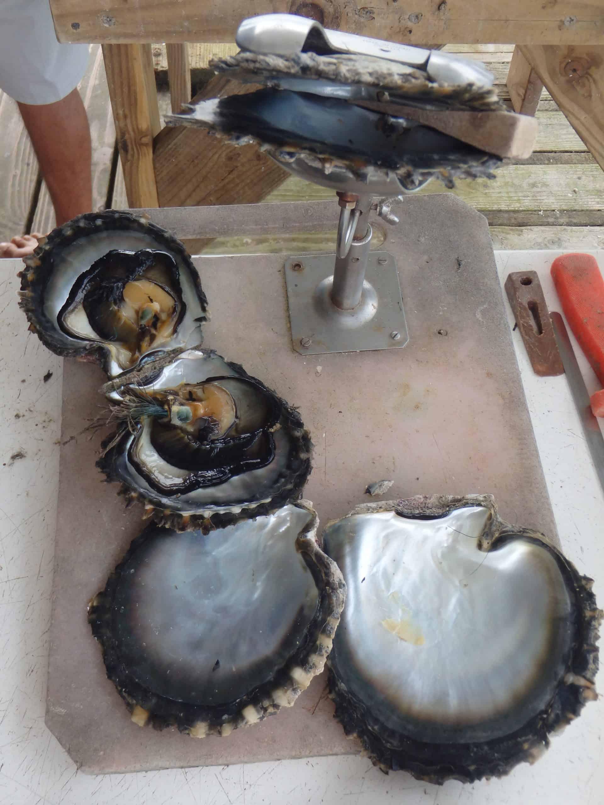 Nacre huitre perliere