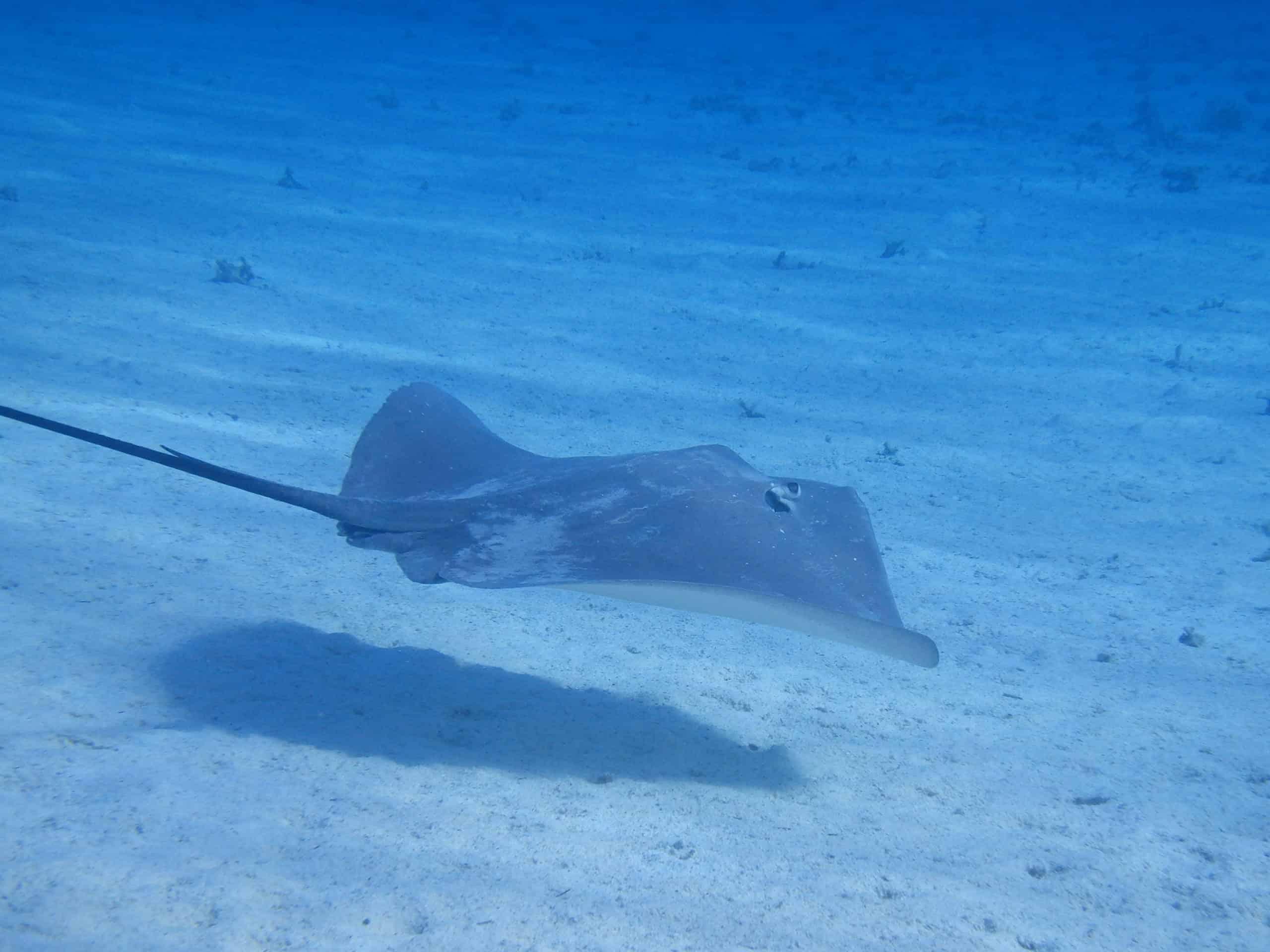 Raie Pastenague à Bora Bora
