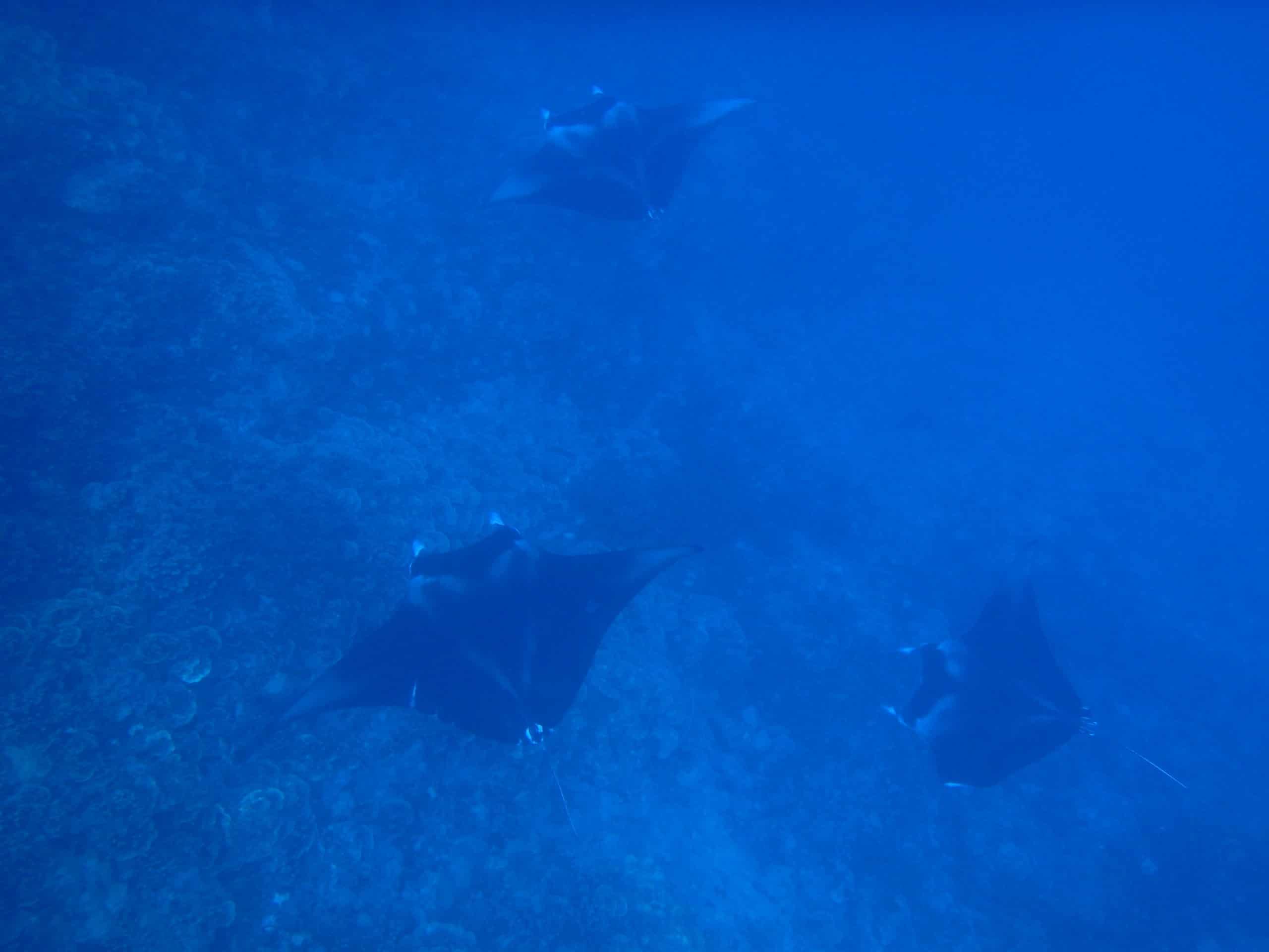 Raie Manta à Bora Bora