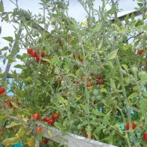 Plants de tomates cerises sur un voilier