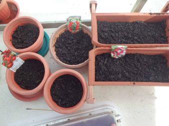 planter les graines de tomates